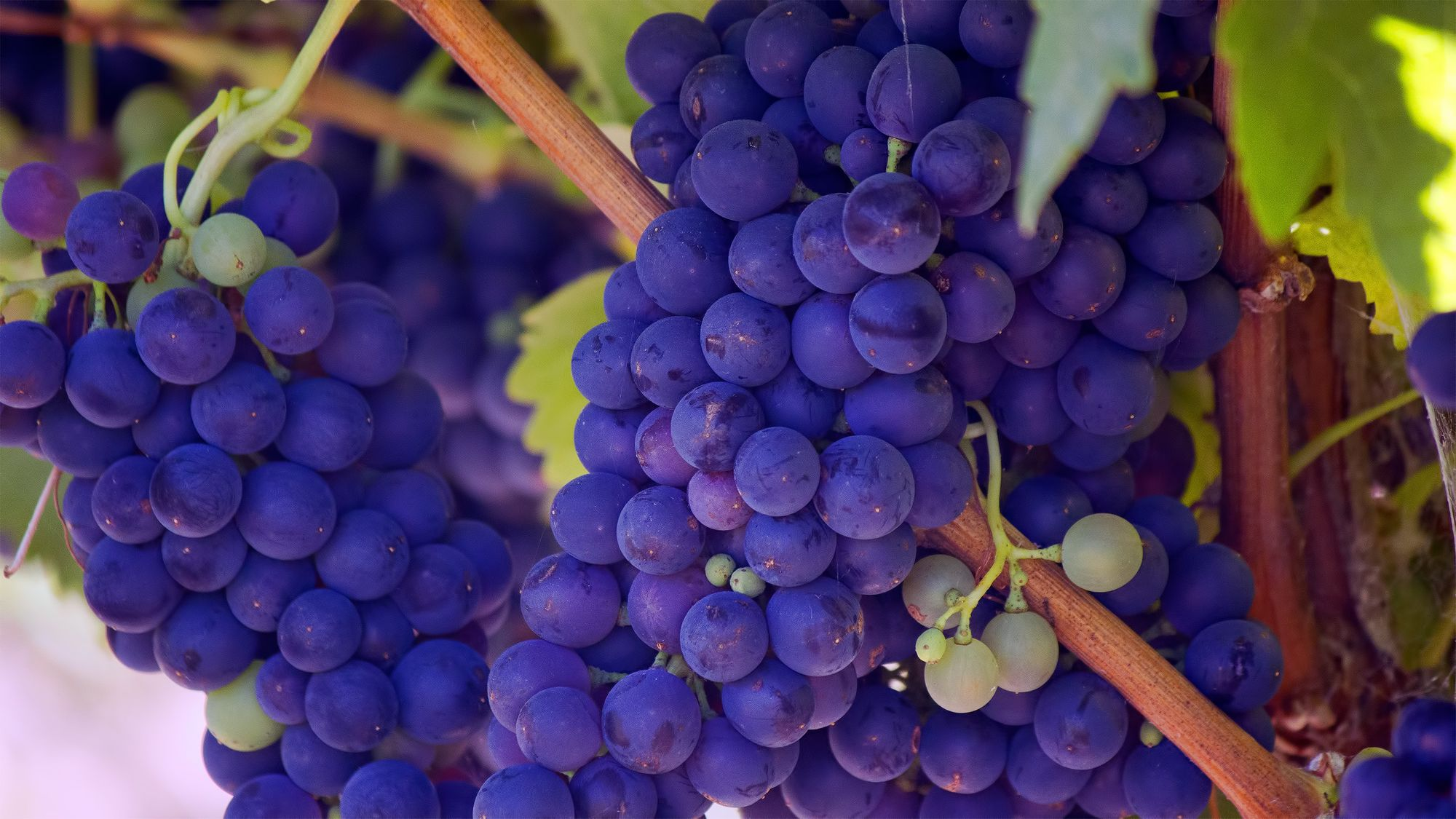 Red grapes contain resveratrol, a potent antioxidant by bill-williams