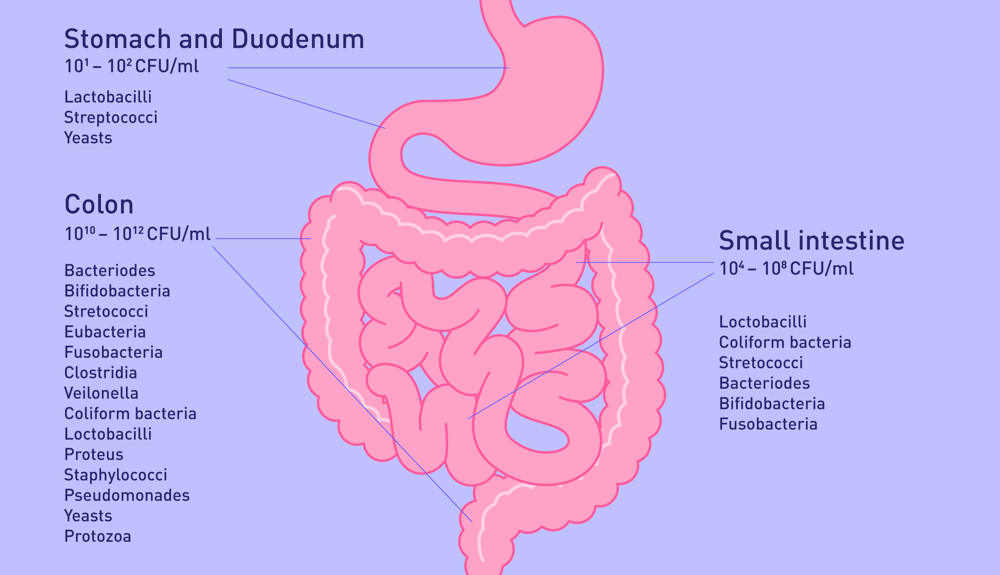 The gut microbiome helps to regulate blood pressure and digestion