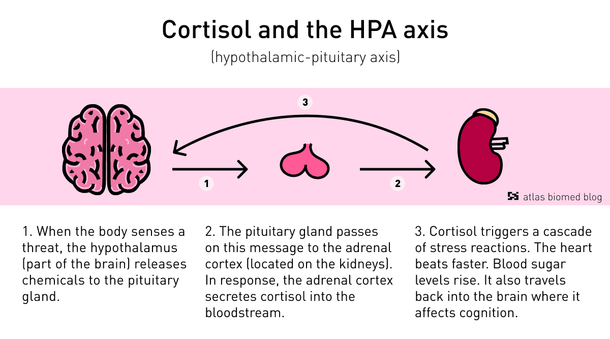 Cortisol stress hormone and the HPA axis by Atlas Biomed.
