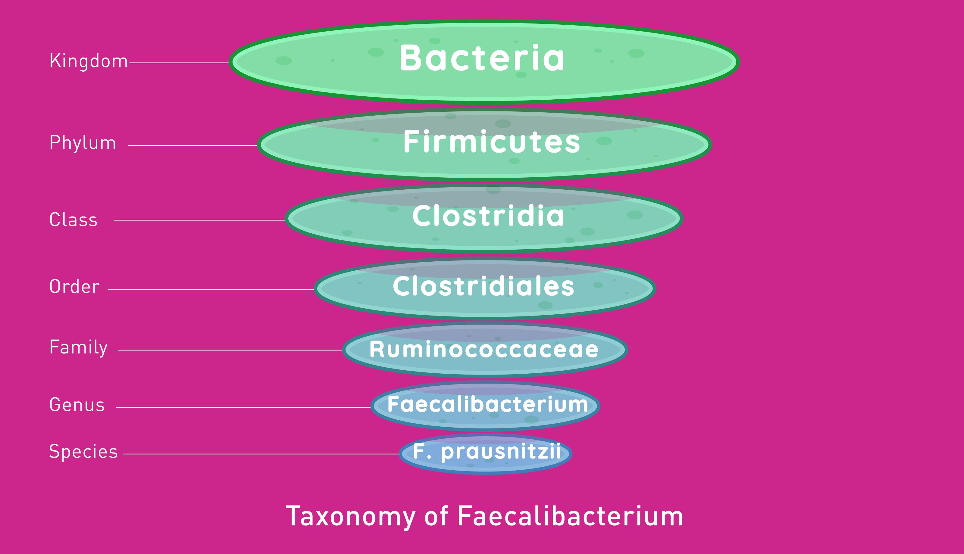 Faecalibacterium prausnitzii taxonomy by Atlas Biomed